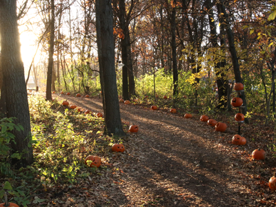 Pumpkin Trail lined with carved pumpkins